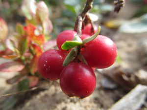 Осенняя ягода